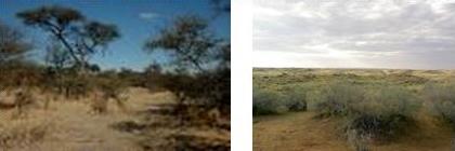 Pohon Akasia dan Semak Belukar