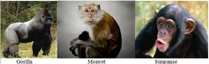 gorilla-monyet-dan-simpanse.jpg