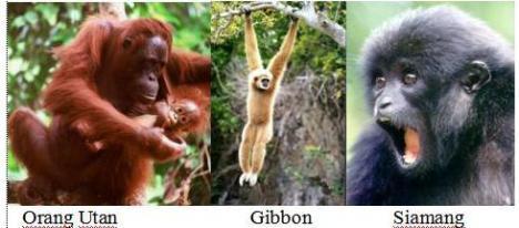 orang-utan-gibbon-siamang
