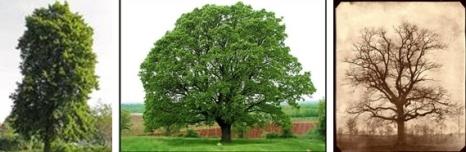 Basswood - Oak pada waktu lebat - Oak pada waktu rontok