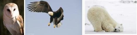 Burung Hantu - Burung Elang dan Beruang Kutub