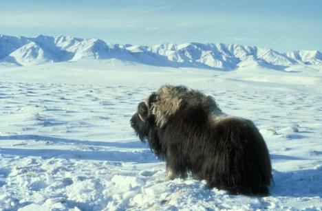 Muskox - mamalia darat berbulu lebat di bioma Tundra