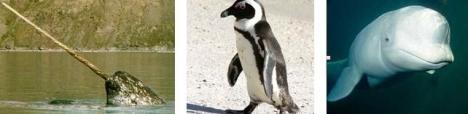 Narwhal - Penguin - Paus Beluga