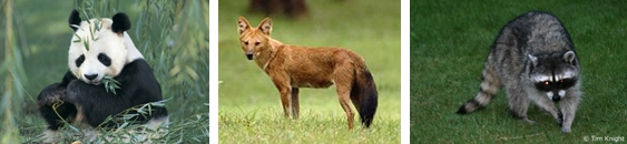 Fauna yan terdapat di wilayah bioma hutan gugur misalnya panda (hewan