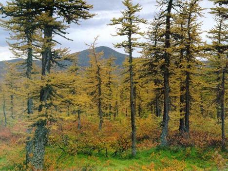 Bioma Taiga (Coniferus)