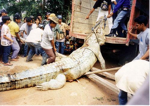 Buaya besar dengan panjang 4 - 5 tinggi manusia dewasa yang ditangkap