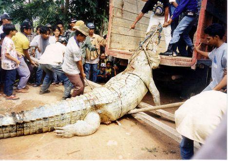 Buaya besar dengan panjang 4 - 5 tinggi manusia dewasa yang ditangkap penduduk.
