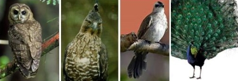 Burung Hantu - Elang Jawa - Kutilang - Burung Merak