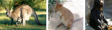 Kanguru - Walaby - Beruang Madu