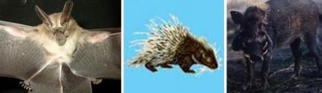 Kelelawar Jawa - Landak - Babi Hutan