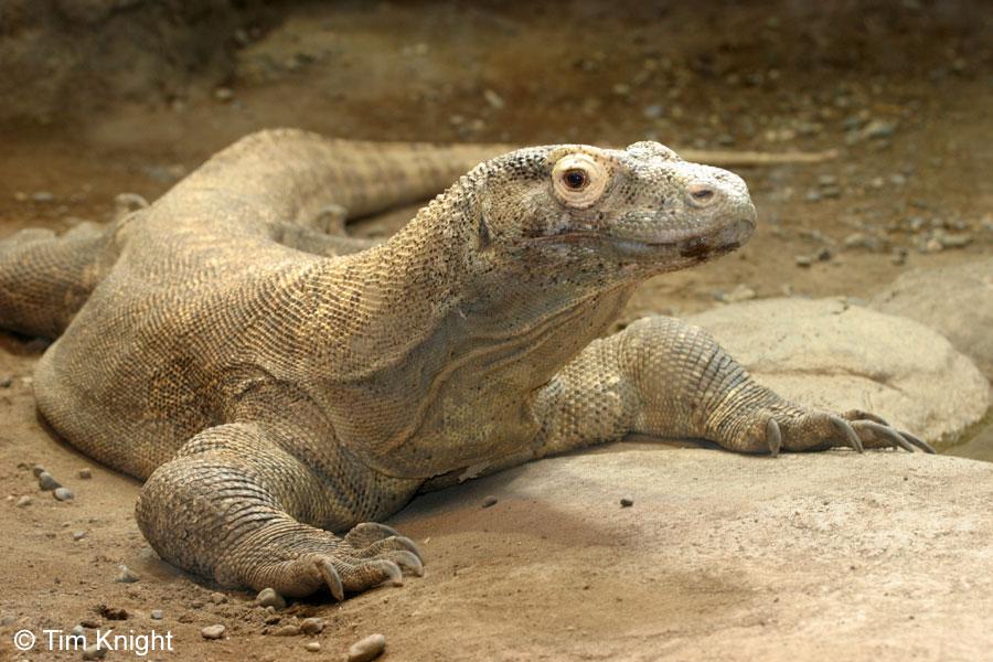 Komodo - Reptil raksasa asli Indonesia yang merupakan hewan endemik