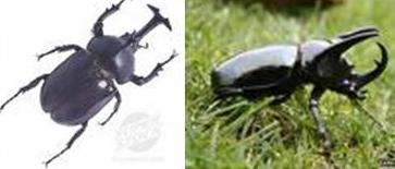 Kumbang Badak (kumbang Jawa)