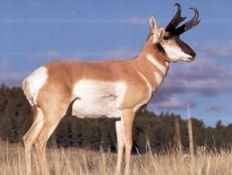 Antelop