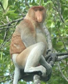 Bekantan - Keran berhidung besar yang hidup di pulau Kalimantan
