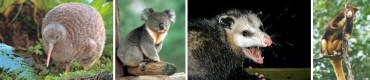 Kiwi - Koala - Oposum Layang (pemanjat berkantung) - Kangguru Pohon
