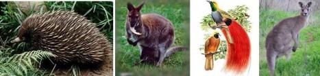 Nokdiak (landak Irian) - Wallaby - Cendrawasih - Kangguru