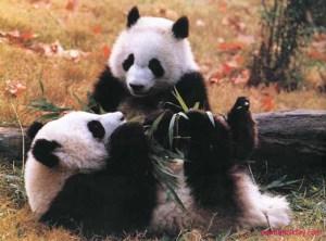 Beruang Panda - hewan endemik wilayah Paleartik yang hanya ada di Cina