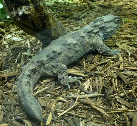 Tuatara (Sphenodon Punctatus)