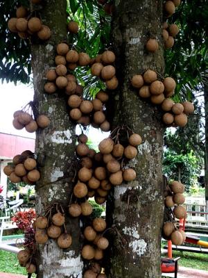 Pohon Burahol (kepel)