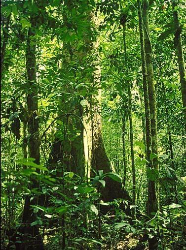 Hasil gambar untuk gambar pohon meranti di hutan