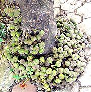 Langsei (Ficus minahasae)