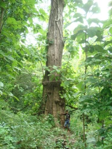 Pohon Jati - Tumbuhan Khas wilayah hutan musim tropis