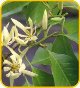 Bunga Kantil