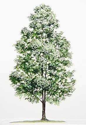 Pohon Cengkeh