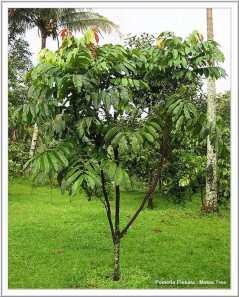 Matoa Pinnata - Pohon khas daerah Papua