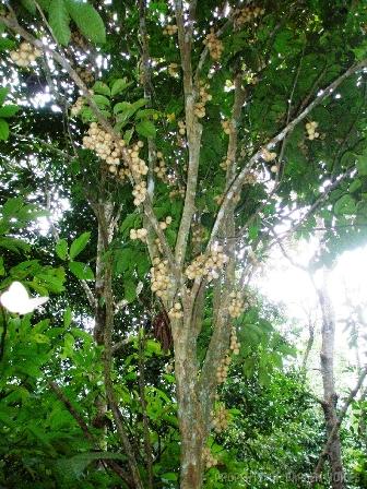 Sumatera selatan - duku (lansium domesticum)
