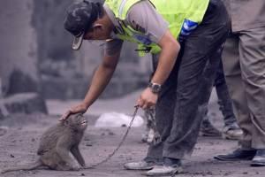 Seekor monyet yang ditemukan selamat dari amukan awan panas Merapi.